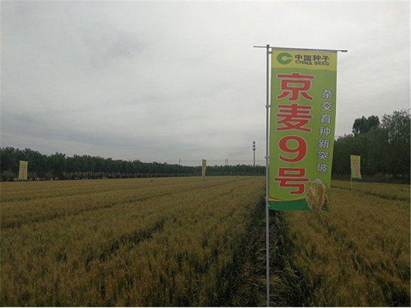 杂交小麦诞生